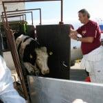 Heifer donează 70 de văcuţe pentru 3 comunităţi defavorizate din Mureș