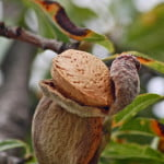 Un altfel de agricultură: cultivarea migdalilor