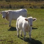 Ţara noastră reia exportul de ovine și bovine către Israel