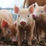 Sprijin financiar pentru depozitarea privată a cărnii de porc