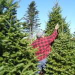 Romsilva: Numărul pomilor de Crăciun tăiaţi ilegal a scăzut puternic în acest an