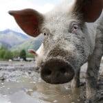 Ajutor de la stat pentru crescătorii de animale
