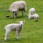 Ajutor de minimis pentru crescătorii de ovine